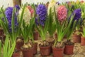 Beautiful hyacinth flower bulbs in pot fresh colorful flowers Royalty Free Stock Photography