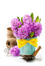 Beautiful hyacinths and garden tools in vase over white Stock Photo