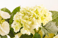 Beautiful hydrangea Stock Photography