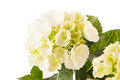 Beautiful hydrangea Stock Image