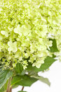 Beautiful hydrangea Royalty Free Stock Photography