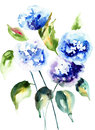Beautiful hydrangea blue flowers watercolor illustration Royalty Free Stock Photography