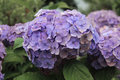 Beautiful Hydrangea of Hydrangea Celebration at Fujinomori Shrin