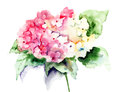 Beautiful hydrangea pink flowers watercolor illustration Stock Photography