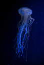 Beautiful illuminated jellyfish Chrysaora Pacifica Royalty Free Stock Photo