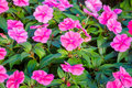 Beautiful impatiens  flowers. Royalty Free Stock Photo