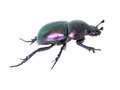 Beautiful iridescent dung beetle isolated on white. Royalty Free Stock Photo