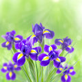 Beautiful irises on a green background in the sunlight and bokeh bouquet of Stock Images