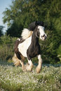Beautiful irish cob tinker horse with long mane walking free i the in the meadow Stock Images