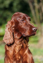 Beautiful Irish Setter Royalty Free Stock Photo