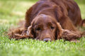Beautiful irish setter young female lying in the grass Stock Images