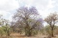Beautiful jacaranda tree in kenya falls the species which shrubs to large trees Stock Photo