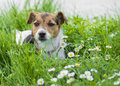 A beautiful jack russell terrier Stock Photos