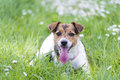 A beautiful jack russell terrier Stock Photography