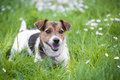 A beautiful jack russell terrier Royalty Free Stock Images