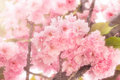 Beautiful Japanese cherry blossomed - flowering cherry tree Royalty Free Stock Photo