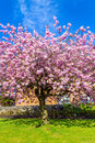 Beautiful Japanese cherry tree blossom