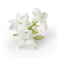 Beautiful Jasmine flower Royalty Free Stock Photo