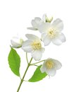 Beautiful jasmine flowers with leaves isolated on white Royalty Free Stock Photo