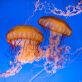 Beautiful jelly fishes Royalty Free Stock Photo