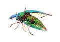 Beautiful Jewel Beetle or Metallic Wood-boring (Buprestid) top v Royalty Free Stock Photo