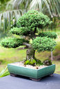 Beautiful juniper bonsai in a botanical garden Stock Images