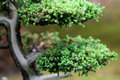 Beautiful juniper bonsai in a botanical garden Royalty Free Stock Images