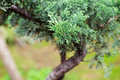 Beautiful juniper bonsai botanical garden Stock Photo