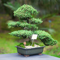 Beautiful juniper bonsai botanical garden Stock Photos