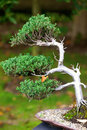 Beautiful juniper bonsai botanical garden Stock Images