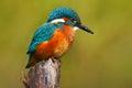 Beautiful Kingfisher With Clea...