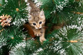 Beautiful kitten with fir tree playing green Stock Photos
