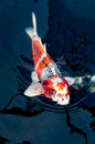 Beautiful koi fish swimming in the pond Royalty Free Stock Photo