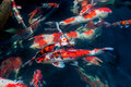 Beautiful koi fish swimming in the pond Royalty Free Stock Images