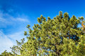 A beautiful krone of coniferous tree against the blue sky backgr background Royalty Free Stock Image