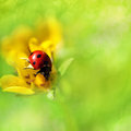 Beautiful ladybird on a flower Stock Images