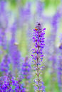 Beautiful ladybug on the purple flower Stock Image