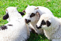 Beautiful lambs on field flock of sheeps the meadow at sunny day Stock Photo
