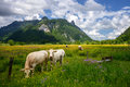 Beautiful landscape in the Alps with cows grazing in green meadows, typical countryside and farm between mountains. Royalty Free Stock Photo