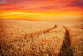Beautiful landscape with field of wheat and sunset sky. Royalty Free Stock Photo