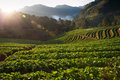 Beautiful landscape and fresh strawberries farm in winter at Chiangmai Royalty Free Stock Photography