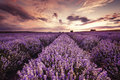 Beautiful landscape of lavender fields at sunset Royalty Free Stock Photo