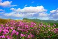 Beautiful landscape of Pink rhododendron flowers and blue sky in the mountains, Hwangmaesan in Korea. Royalty Free Stock Photo