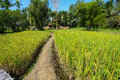 The beautiful landscape of rice fields. Rice fields with home and nature Royalty Free Stock Photo