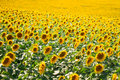 Beautiful landscape with sunflower field Royalty Free Stock Photo