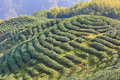 Beautiful landscape of tea plantations Royalty Free Stock Photo