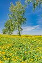 Beautiful landscape of yellow field meadow of dandelion flowers in spring with blue sky Royalty Free Stock Photo