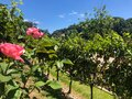 Vineyards and flowers in wonderful wineries Royalty Free Stock Photo