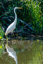 Beautiful large egret reflecting in the water. Royalty Free Stock Photo