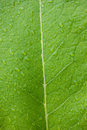 Beautiful large green leaf with drops of water Royalty Free Stock Photo